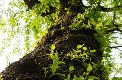 árboles y brotes viejos del árbol Foto de archivo