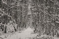 Árboles y camino en bosque mezclado del invierno Imágenes de archivo libres de regalías