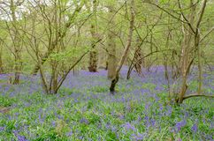 Árboles y campanillas en primavera Fotos de archivo
