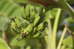 Árboles y frutas verdes de banan Fotos de archivo libres de regalías