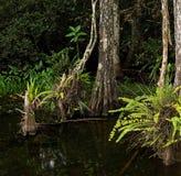 Árboles y helechos de Cypress en los marismas cenagosos de la Florida Foto de archivo libre de regalías