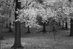 Árboles y hojas B/W de la caída Fotos de archivo libres de regalías