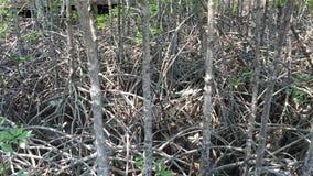Árboles y hojas del Rhizophoraceae metrajes