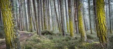 Árboles y liquen en el bosque de Dores en Escocia Fotografía de archivo libre de regalías
