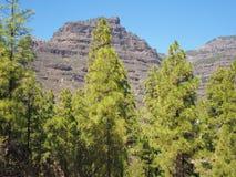 Árboles y montaña de pino cerca de San Bartolome, Gran Canaria Imágenes de archivo libres de regalías