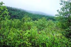 Árboles y niebla de abedul sobre la montaña en Noruega Imagen de archivo libre de regalías