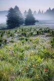 Árboles y niebla de pino Imagenes de archivo