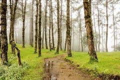 Árboles y niebla de pino Fotos de archivo libres de regalías