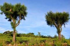 Árboles y plantaciones de té imagen de archivo