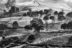 Árboles y plantaciones de té Imágenes de archivo libres de regalías
