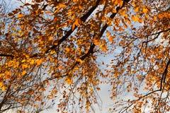 árboles y ramas del color de la puesta del sol del otoño Fotografía de archivo libre de regalías