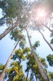 Árboles y sol de pino Foto de archivo