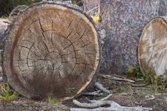 Árboles y tocón cortados en el ambiente del bosque y el concepto de la tala de árboles Troncos de madera Concepto de la ecología  fotografía de archivo
