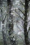 Árboles y web de abedul en el bosque de Abernethy en Escocia Imágenes de archivo libres de regalías