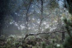Árboles y web de abedul en el bosque de Abernethy en Escocia Foto de archivo libre de regalías