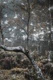 Árboles y web de abedul en el bosque de Abernethy en Escocia Imagen de archivo libre de regalías