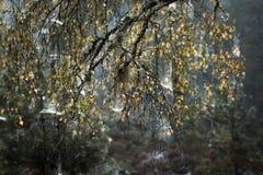 Árboles y web de abedul en el bosque de Abernethy en Escocia Imagen de archivo