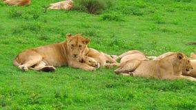 Área africana de Ndutu de los leones de Ngorongoro metrajes