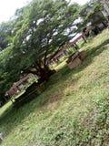 Área crescida de Nigéria benin da árvore fotos de stock