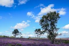 Área da perseguição de Cannock da beleza natural proeminente Fotos de Stock