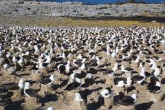 Área de assentamento Black-browed do Albatross foto de stock royalty free