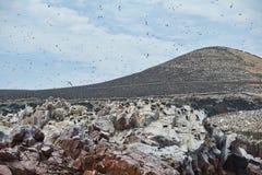 Área de assentamento do pássaro na Ballestas-ilha Fotografia de Stock
