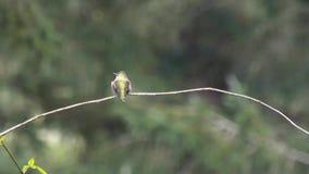 Área de exploración del colibrí para las amenazas almacen de video