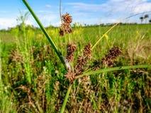 Área natural das clareiras do pinho em pântanos de Florida foto de stock