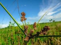 Área natural das clareiras do pinho em pântanos de Florida fotos de stock royalty free
