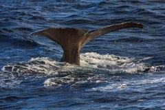 Área Noruega de los andenes de la platija de la cola de la ballena jorobada imagen de archivo