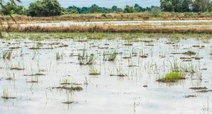 Área para el cultivo del arroz, campo de arroz de arroz Imagenes de archivo