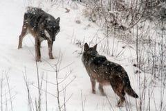 Área protegida de los lobos de Civitella Alfedena Foto de archivo libre de regalías