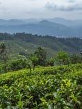 Áreas del cultivo del té verde de Ceilán Foto de archivo libre de regalías