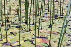 Áreas pantanosos do lago velho Foto de Stock Royalty Free