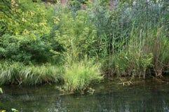 Áreas pantanosos do lago velho Imagens de Stock Royalty Free