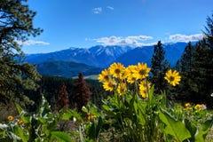 Árnica en prados alpinos Fotos de archivo libres de regalías