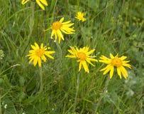 Árnica Montana Imagen de archivo