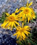 Árnica Montana Imagenes de archivo