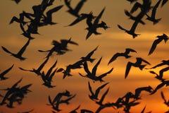 Ártico, terra comum e menos andorinhas-do-mar Fotografia de Stock Royalty Free