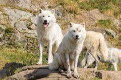 Ártico Wolfs na ômega Canadá de Parc fotografia de stock