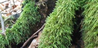 A árvore é coberta com o musgo fotografia de stock royalty free