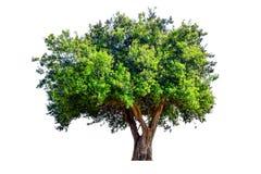 A árvore é quebrada Fotografia de Stock