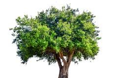 A árvore é quebrada Imagens de Stock