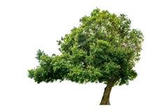 A árvore é separada completamente do branco fotografia de stock royalty free