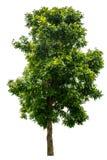 A árvore é separada completamente do branco imagem de stock