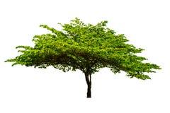 A árvore é separada completamente do fundo branco dos vagabundos científico foto de stock royalty free