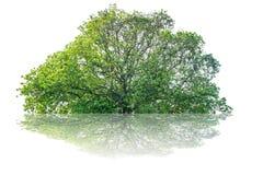 A árvore é separada completamente do nome científico do fundo branco dos vagabundos fotografia de stock