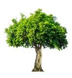 A árvore é separada completamente do nome científico do fundo branco dos vagabundos foto de stock royalty free