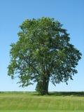 Árvore 2 Fotos de Stock Royalty Free