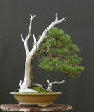 Árvore 5 dos bonsais Imagem de Stock